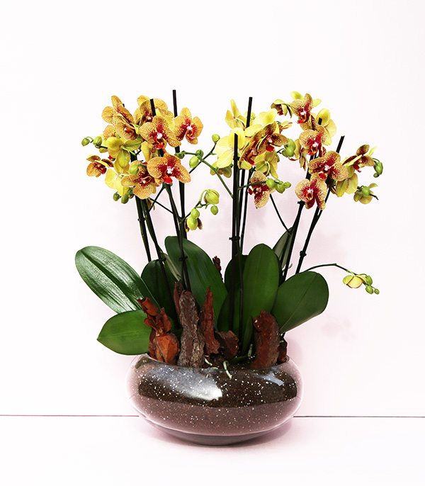 Yellow Orchid Grand Deluxe
