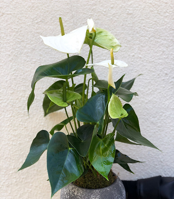 Potted White Anthurium Flower