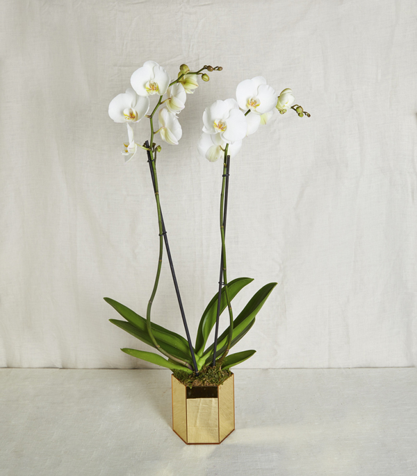 White Orchid Luxe