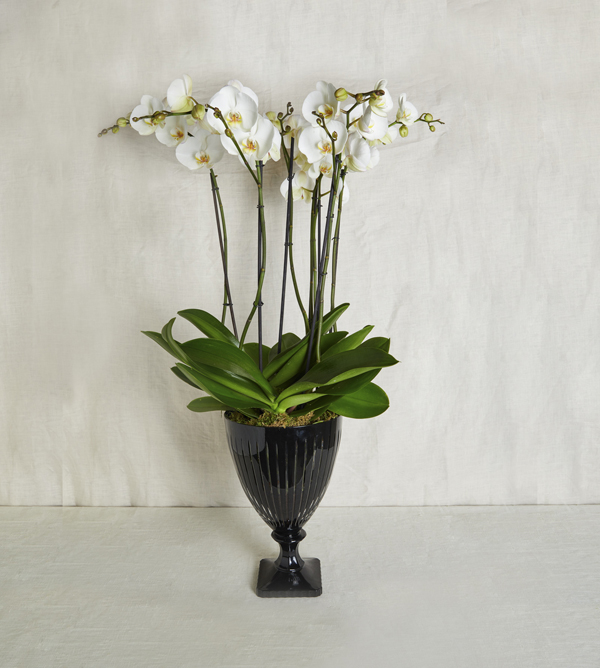 White Orchid Grand Deluxe