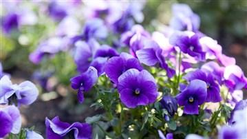 Menekşe, Mor Çiçek