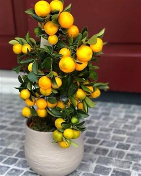 mandalina ağacı bitkisi, süs mandalinası