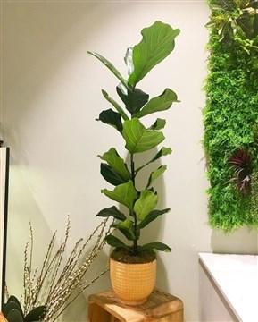 ficus lyrata bitkisi