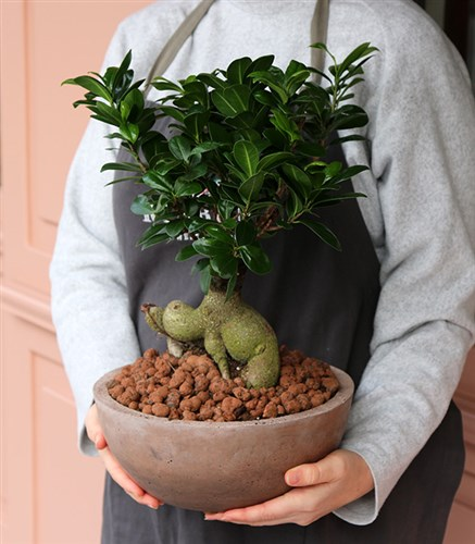 Tree Bonsai DeLuxe