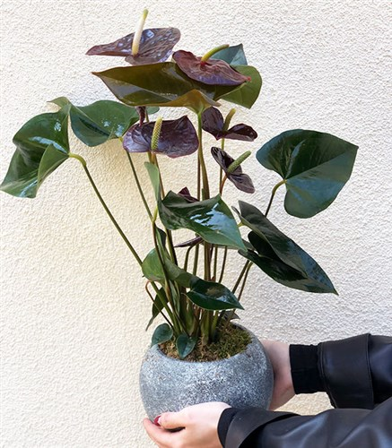 Potted Anthurium Flower