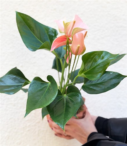 Potted Salmon Anthurium Flower