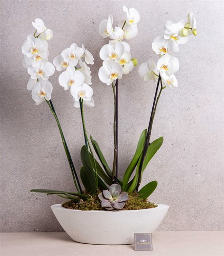 White Orchid Deluxe