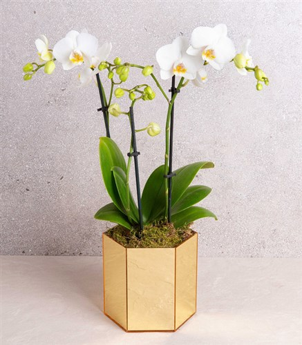 White Orchid Gold