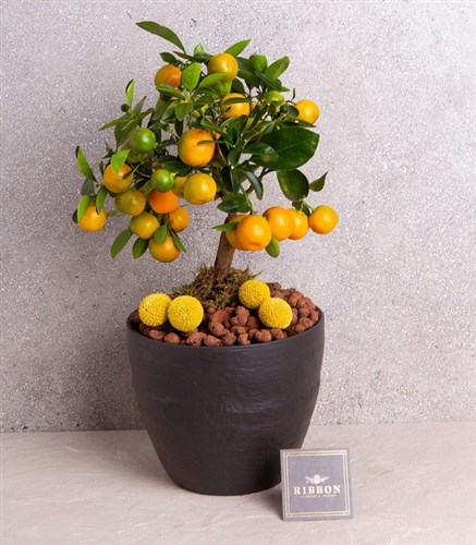 Tangerine Tree Little