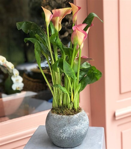Gala Flower in Pot
