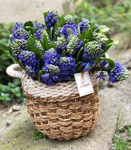 25 Purple Hyacinths Bouquet in Basket