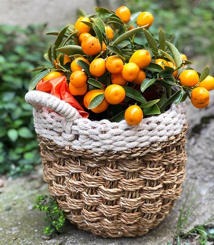 Tangerine Tree in Basket