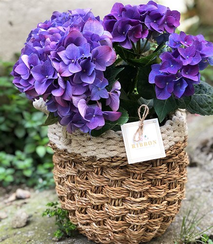 Purple Hydrangea in Basket