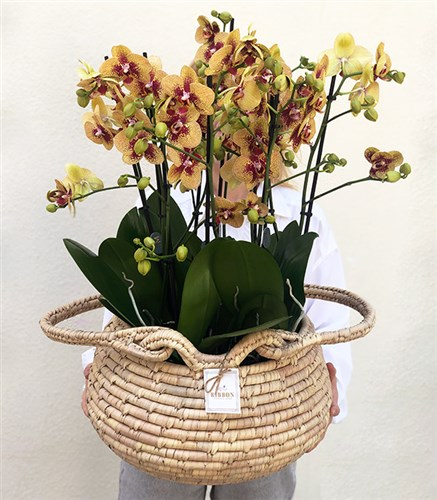Grand Yellow Orchids in Basket