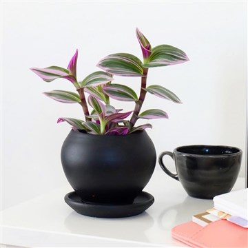 siyah saksıda telgraf çiçeği