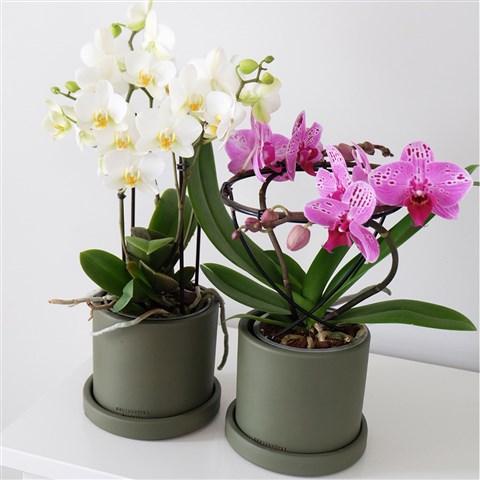 2 adet saksı içerisinde orkide