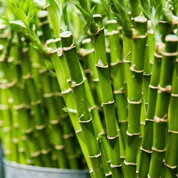 bambu dalları