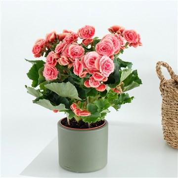 yeşil saksı içerisinde eşsiz güzellikte begonya çiçeği