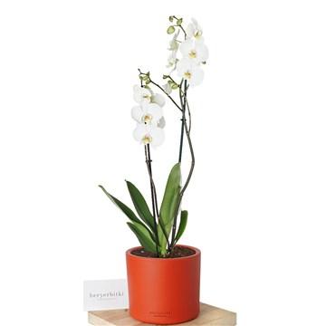 kırmızı saksı içerisinde 2 dal beyaz orkide