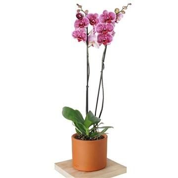 çömlek saksı içerisinde fuşya orkide