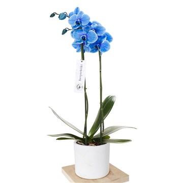 beyaz saksı içerisinde mavi orkide