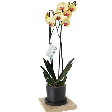 siyah saksı içersinde muhteşem güzellikteki sarı orkide