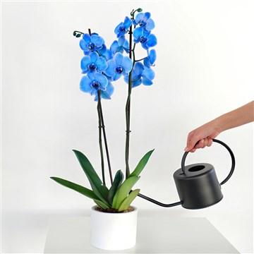 beyaz saksı içerisinde eşsiz güzellikteki mavi orkide