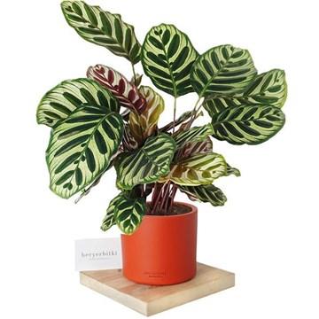 kırmızı saksı içerisinde calathea makoyana bitkisi