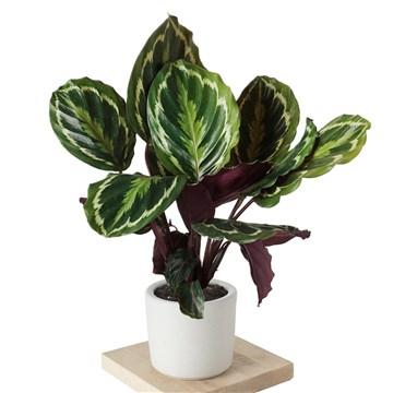 saksı içerisinde calathea medallion bitkisi