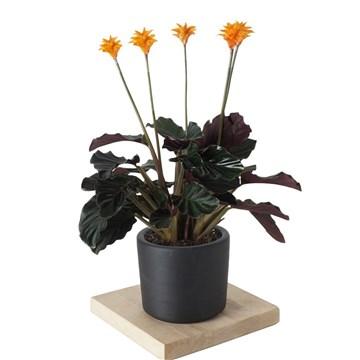 siyah saksıda calathea crocata çiçeği