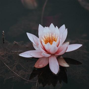 siyah su içerisinde lotus çiçeği