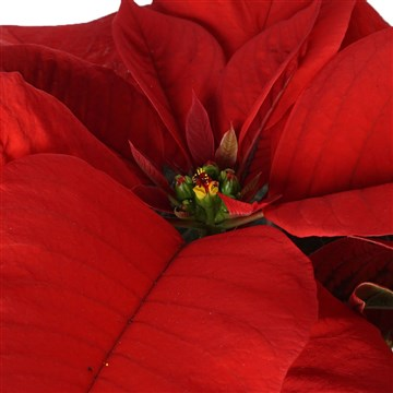 atatürk çiçeği yakın çekim