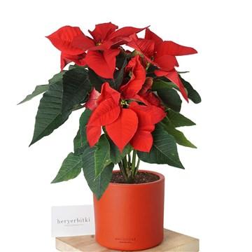 atatürk çiçeği kırmızı saksıda