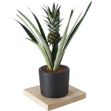 Ananas bitkisi siyah saksıda