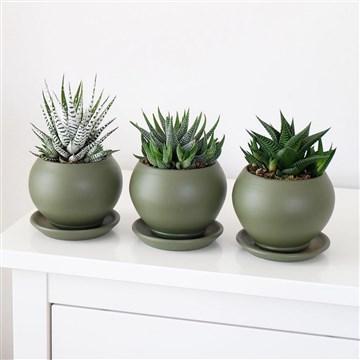 3 farklı sukulent türü yeşil saksılı