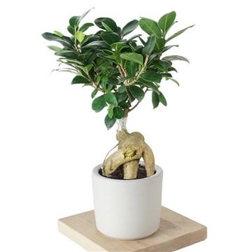 beyaz saksı içerisinde bonsai ağacı