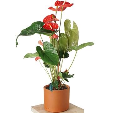 çömlek saksıda antroyum çiçeği