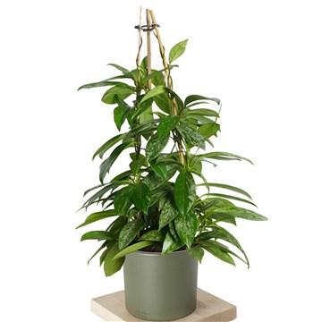 yeşil saksılı mum çiçeği